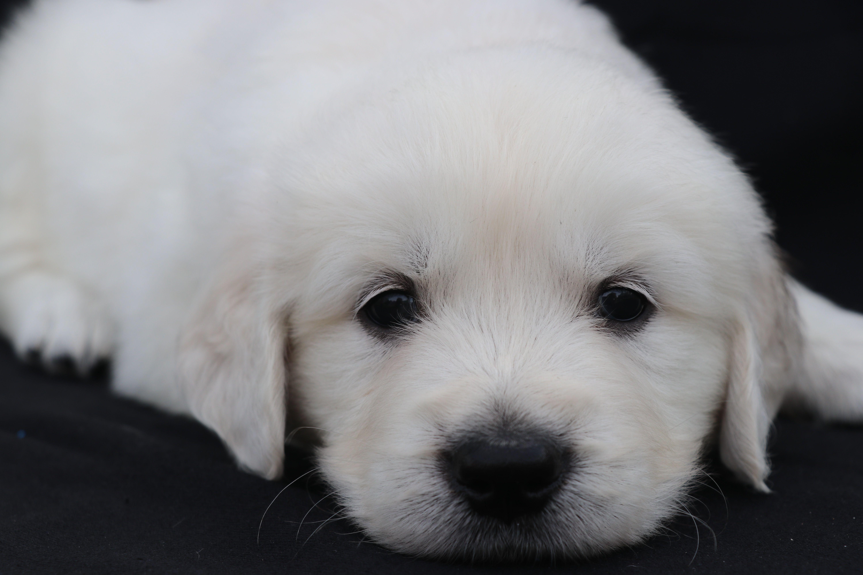 Gunner English Golden Retriever Puppy Puppies Golden Retriever