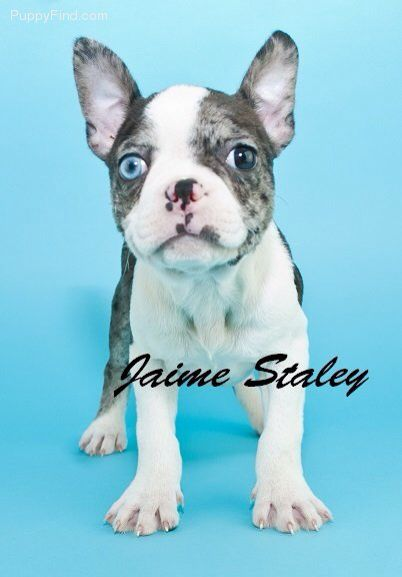 French Bulldog And Blue Merle Boston Terrier Mix Puppy Lap Dogs