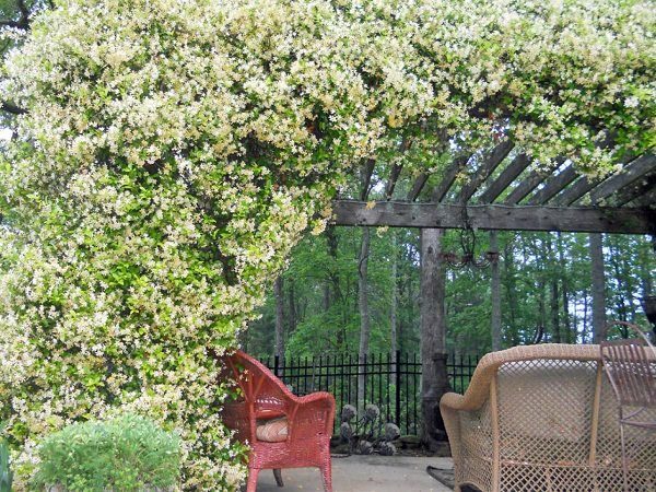 Checkout 19 best pergola plants for your garden. These climbing plants for  pergolas and arbors can also be grown in small gardens easily. - 19 Best Climbing Plants For Pergolas And Trellises Flowers