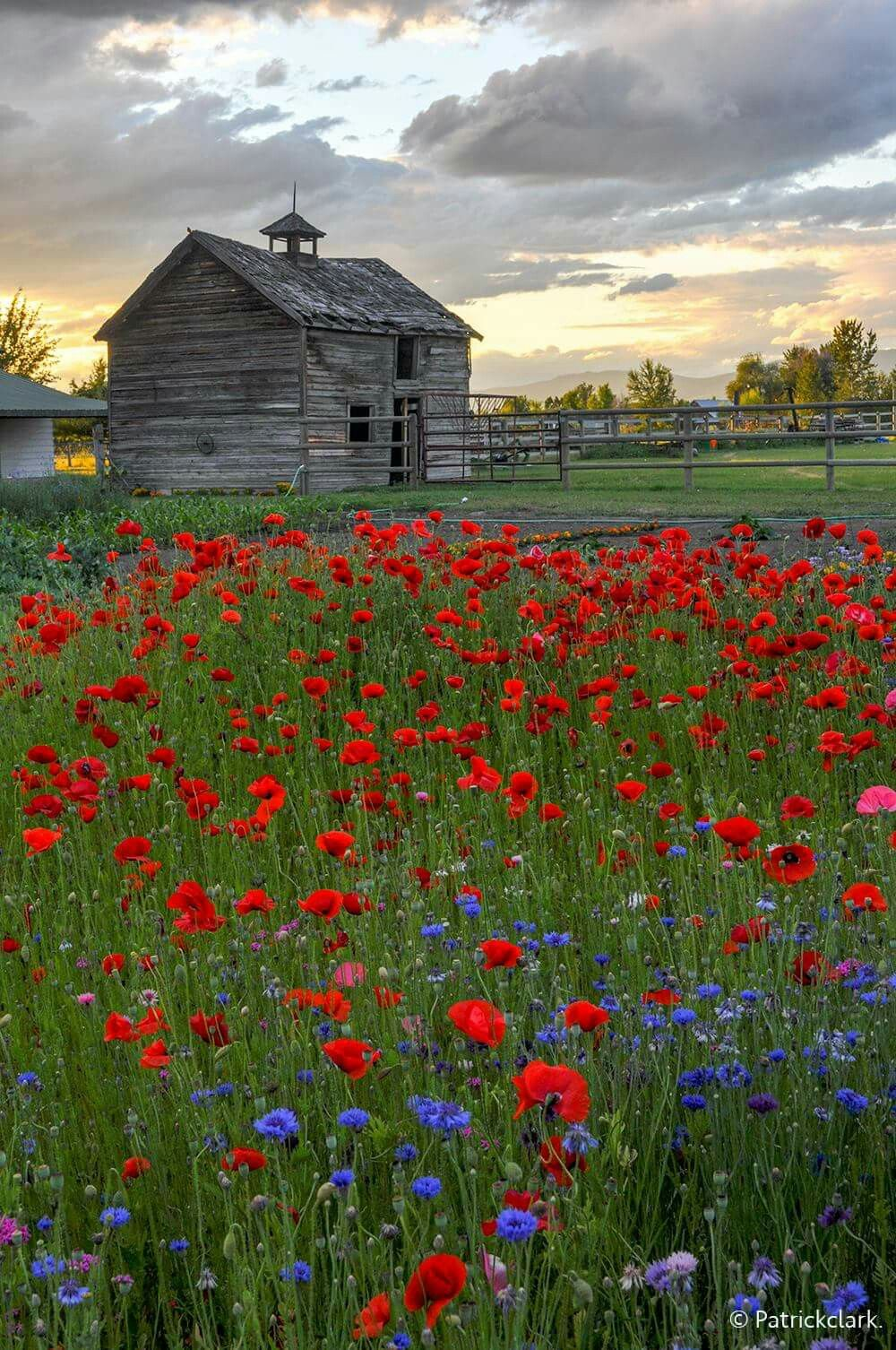 Evening Poppies Patricia Clark I Love Old Barns