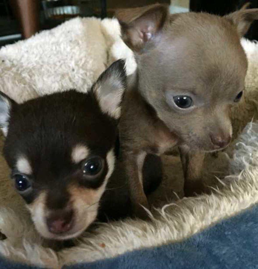 Pin By Linda Mcnulty On Dogs In 2020 Chihuahua Chihuahua For Sale Teacup Chihuahua