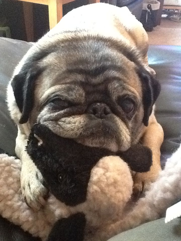 My pug, Wonton, and her toy.