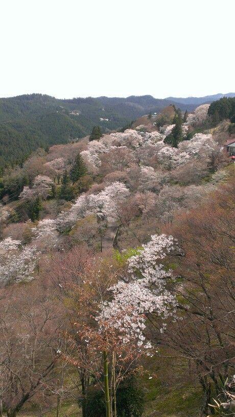 Cherry blossom in Yoshino