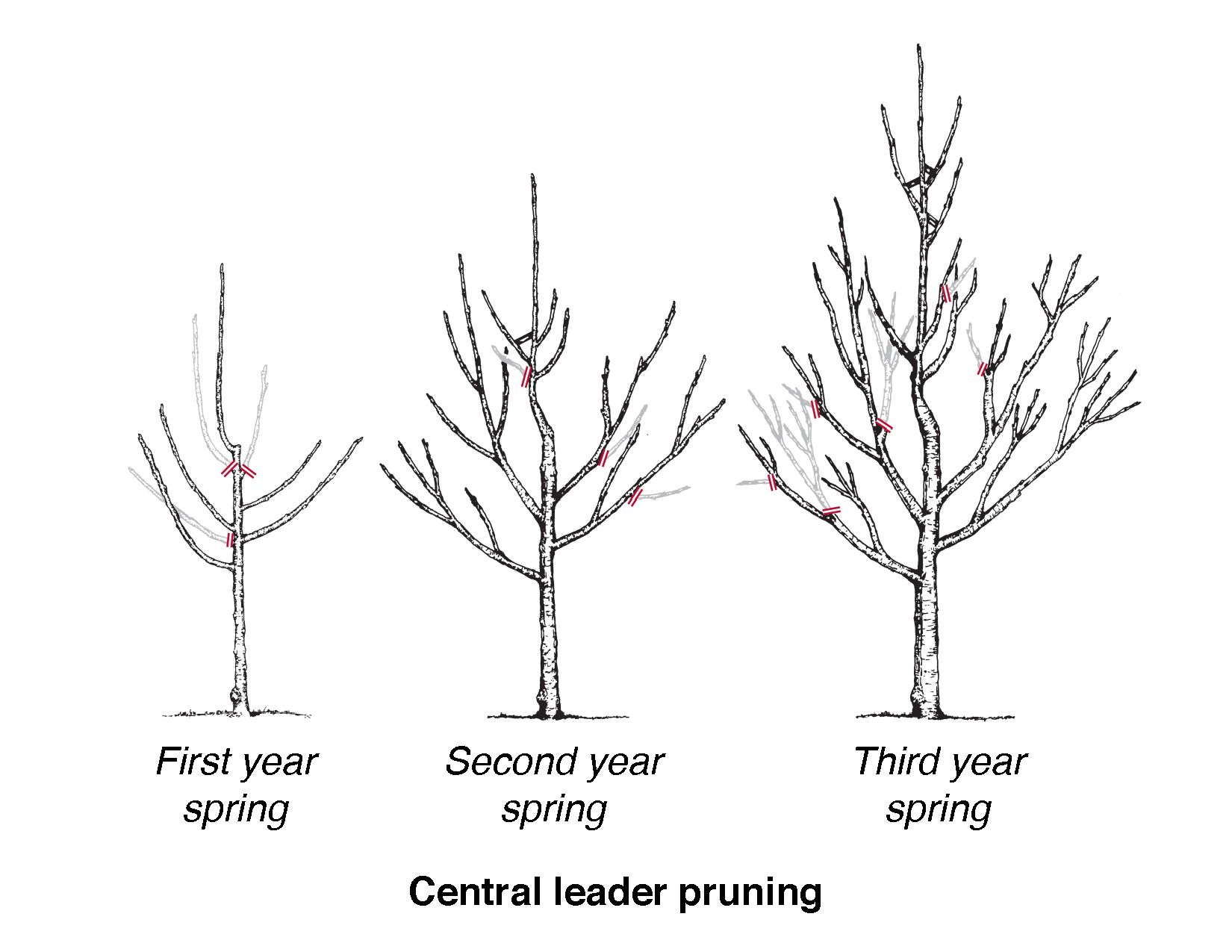 diagram showing three trees in stages of central leader pruning tree bush diagram [ 1650 x 1275 Pixel ]