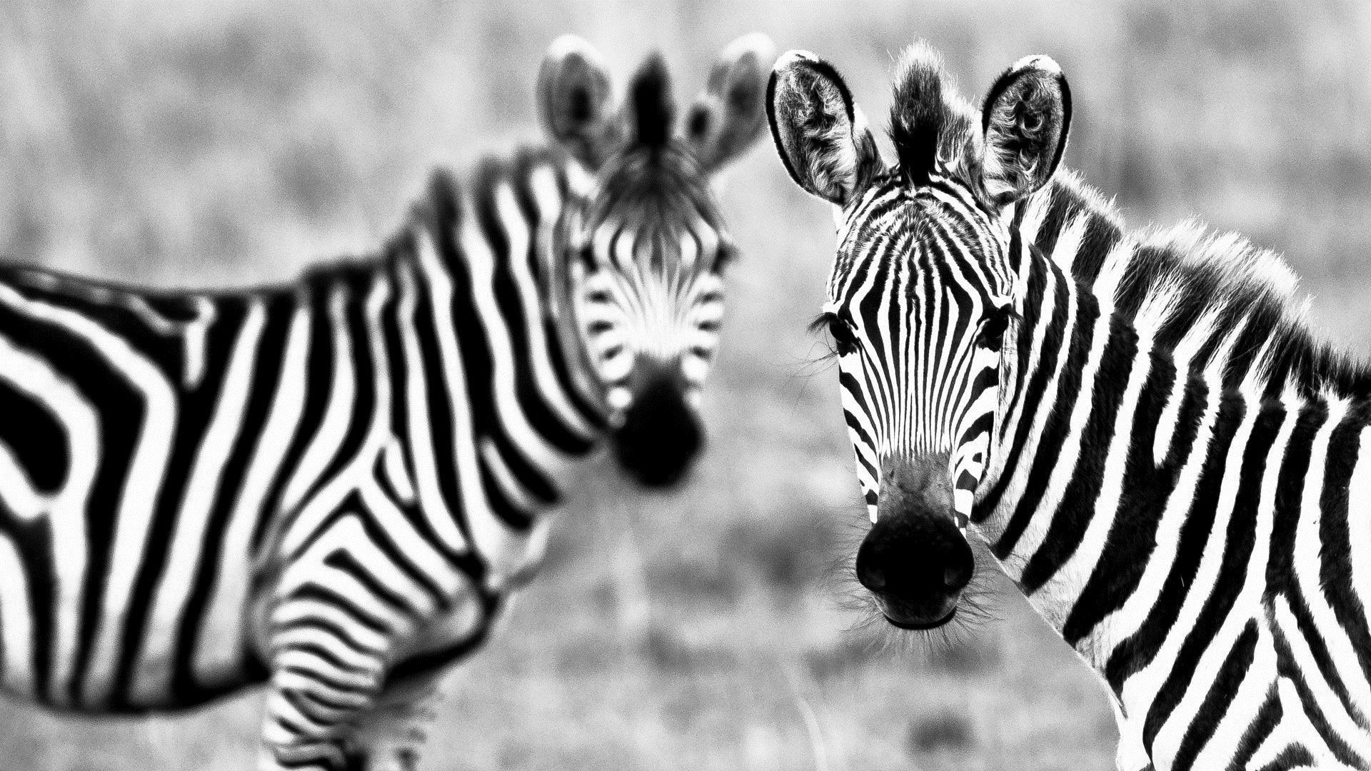 for Zebra wallpaper