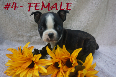 P O N Y T A I L S K E N N E L - BOSTON TERRIERS FOR SALE IN MARYLAND