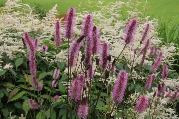 Sanguisorba menziesii 'Wake Up' is like the species except it has longer, fluffier, more pink tassles than its parent. Dad found this one, but he doesn't know where he got it.....