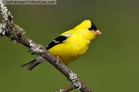 Eastern Goldfinch - Iowa & New Jersey state bird ...