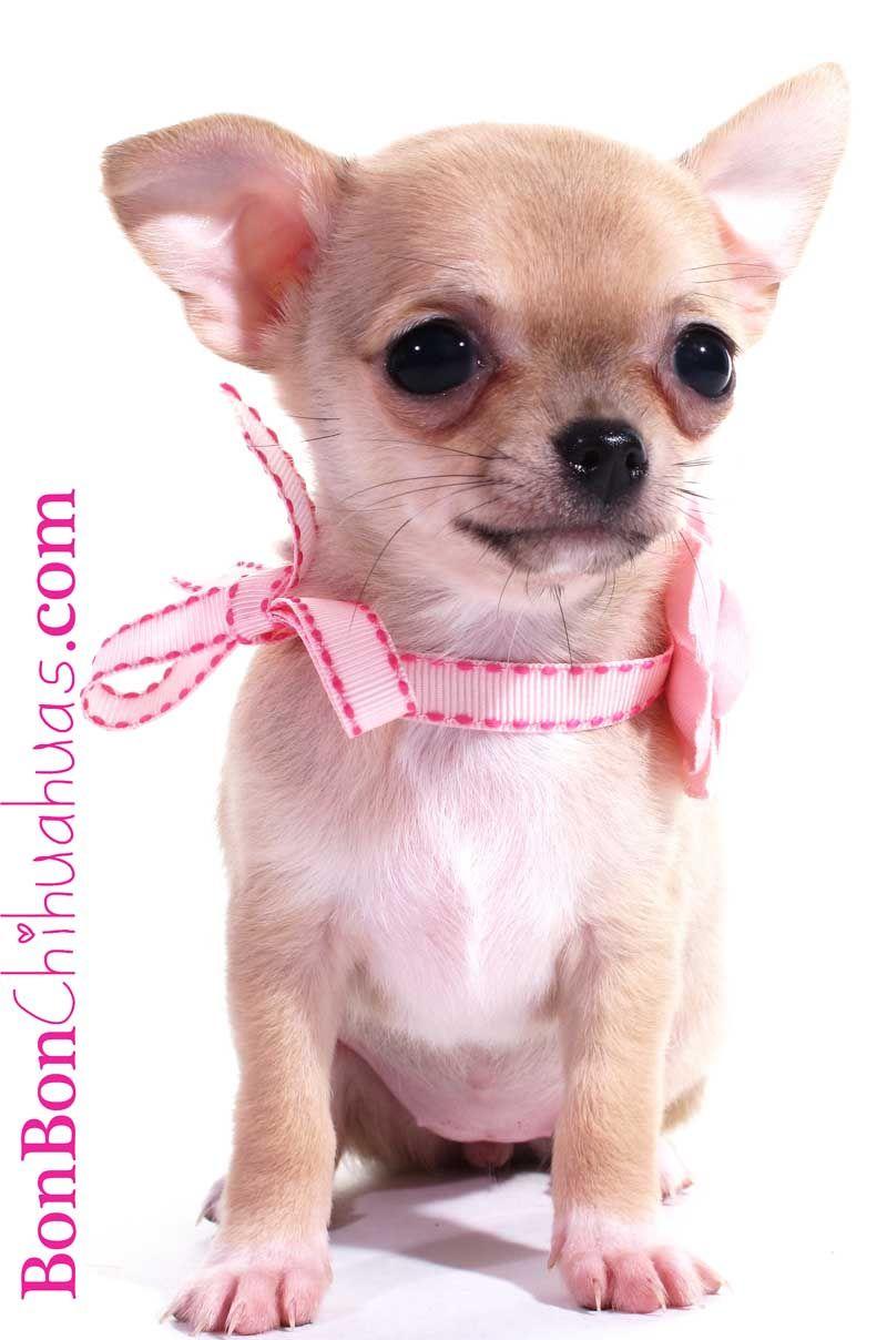 Past Puppies Puppies Chihuahua Love Cute Chihuahua