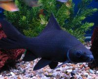 black shark,