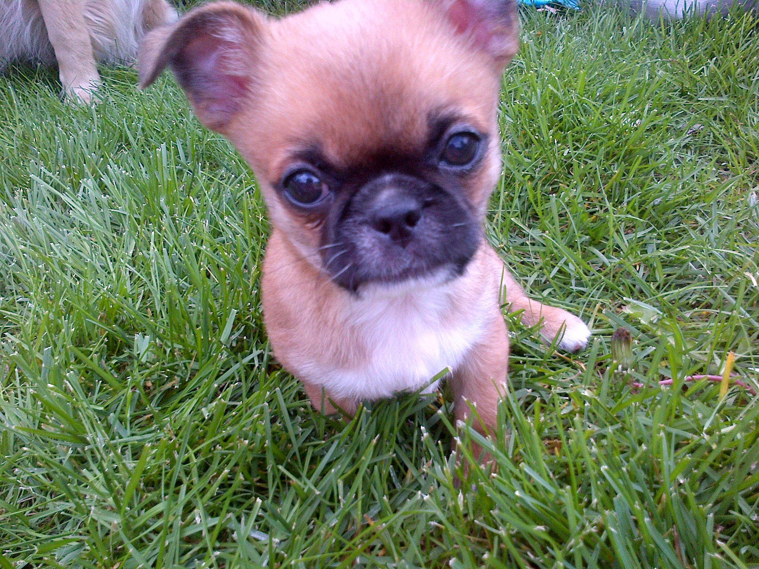 Pics photos dachshund chihuahua dog mix dogs pictures photos pics - Chihuahua Pekingese Mix Cheek