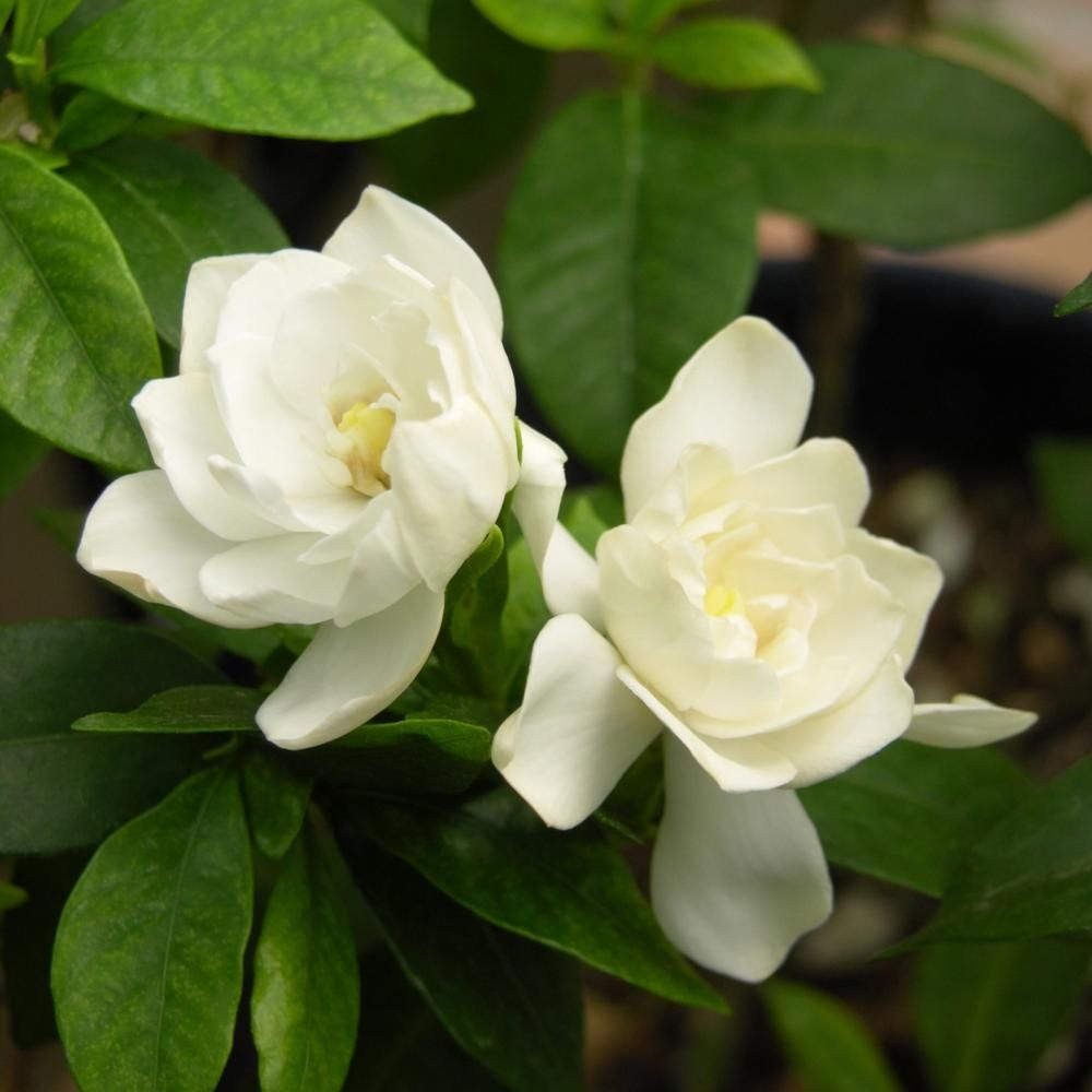 National Plant Network 2 5 Qt Gardenia August Beauty Flowering Shrub With White Blooms In 2020 August Beauty Gardenia Gardenia Plant Gardenia Shrub