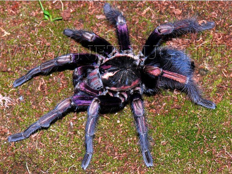 Pamphobeteus ultramarinus Tarantulas for sale, Insects