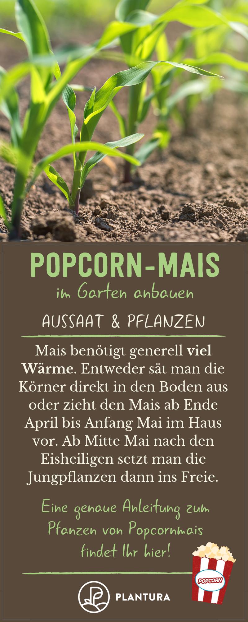 Popcorn Selber Anbauen Anleitung Expertentipps Plantura Popcorn Mais Pflanzen Mais Pflanzen