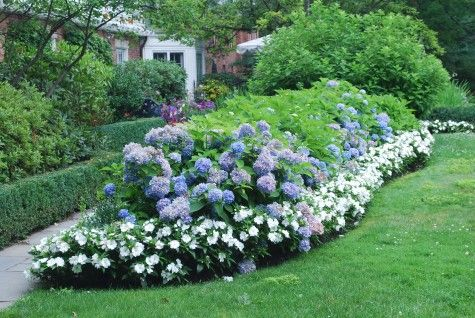 Blue Hydrangea Hedge With White Border Hydrangea Landscaping Hydrangea Garden Backyard Landscaping