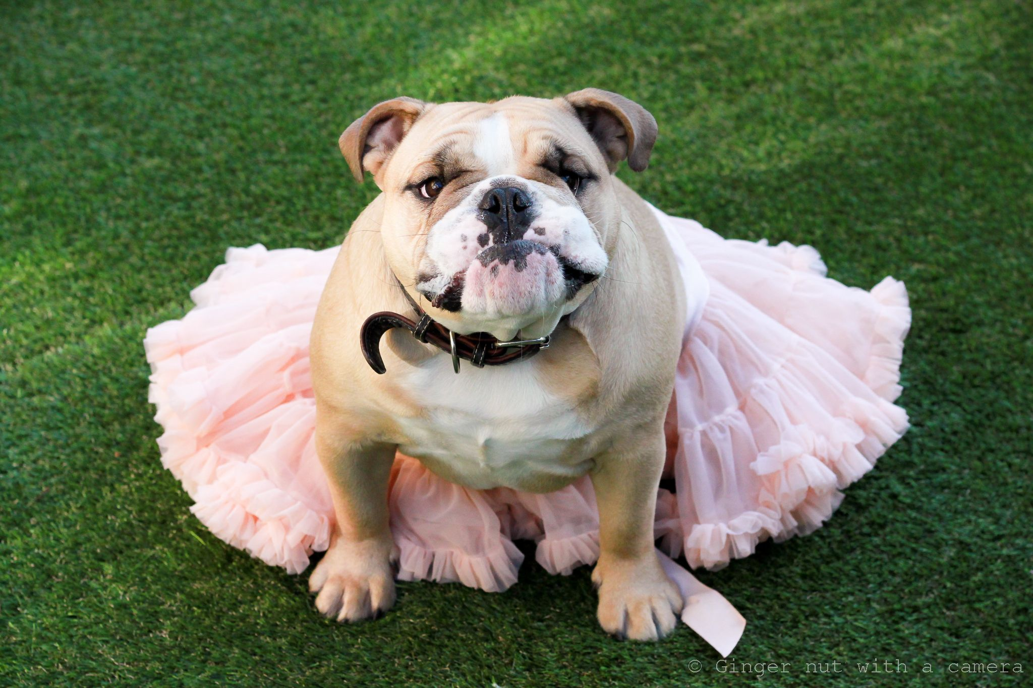 Bulldog Tutu Bulldog English Bulldog Funny Bulldog Funny
