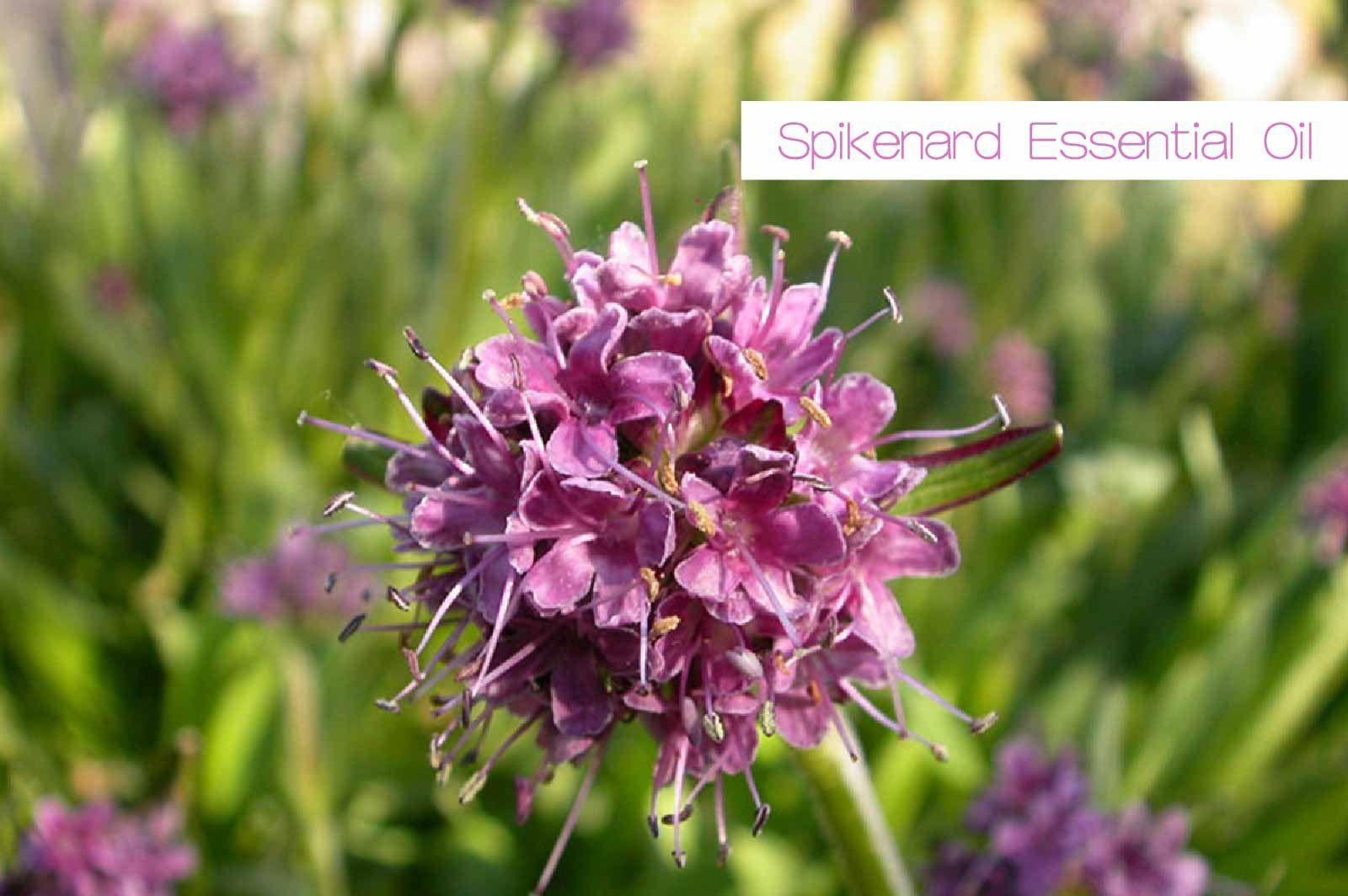 氣味獨特的穗甘松精油 Aromatic Plant Essential Oils Bible Garden