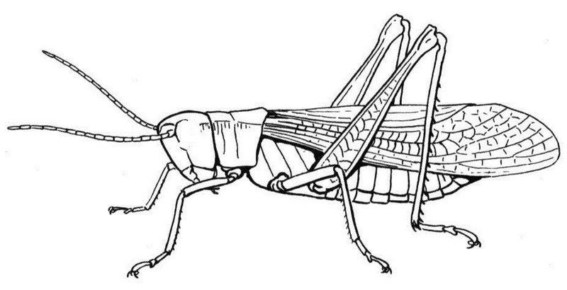 Grasshopper Coloring Pages with Basic Instructions