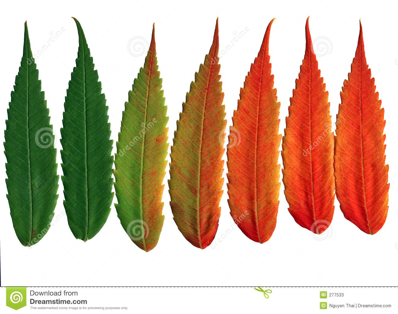 The leaves of the black walnut tree change colors in the