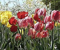 Layfor seven flores