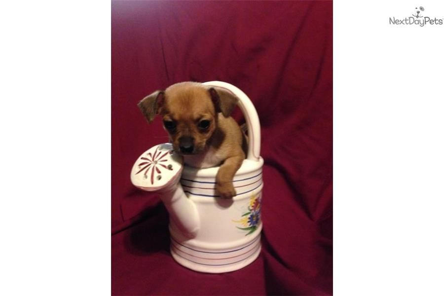 Meet Katy A Cute Chihuahua Puppy For Sale For 650 Akc Chihuahua