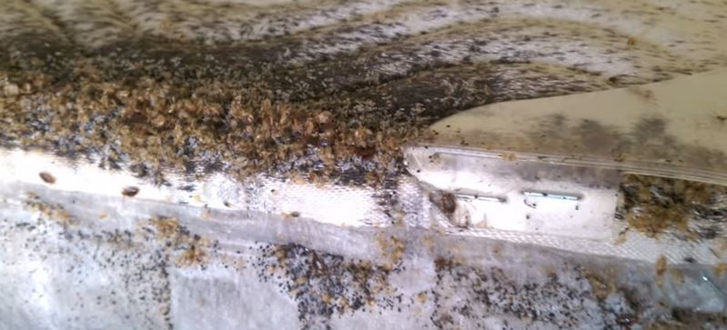 Nasty Bed Bug Infestation Bugs Insects Crawling Things