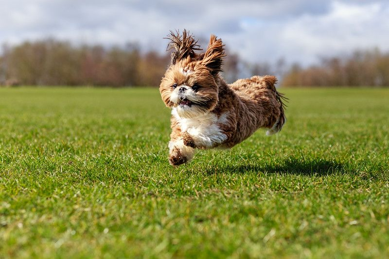 Book Your Shih Tzu Dog Photoshoot Today Shih Tzu Shih Tzu Photos