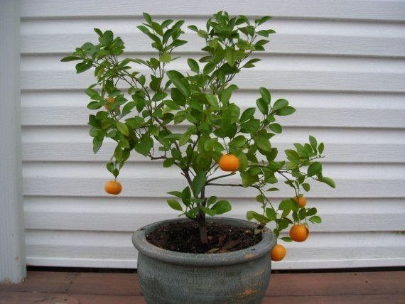 Grow An Indoor Citrus Tree Kit Valencian Orange Tree Seeds Citrus Trees Tangerine Tree Kumquat Tree