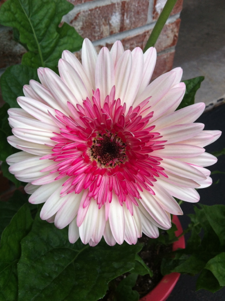 white flower with a pink middle! | Pictures I have Taken With My New ...