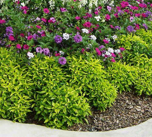 jacob's coat plant | Jacobs Coat Plant | Gardening ...