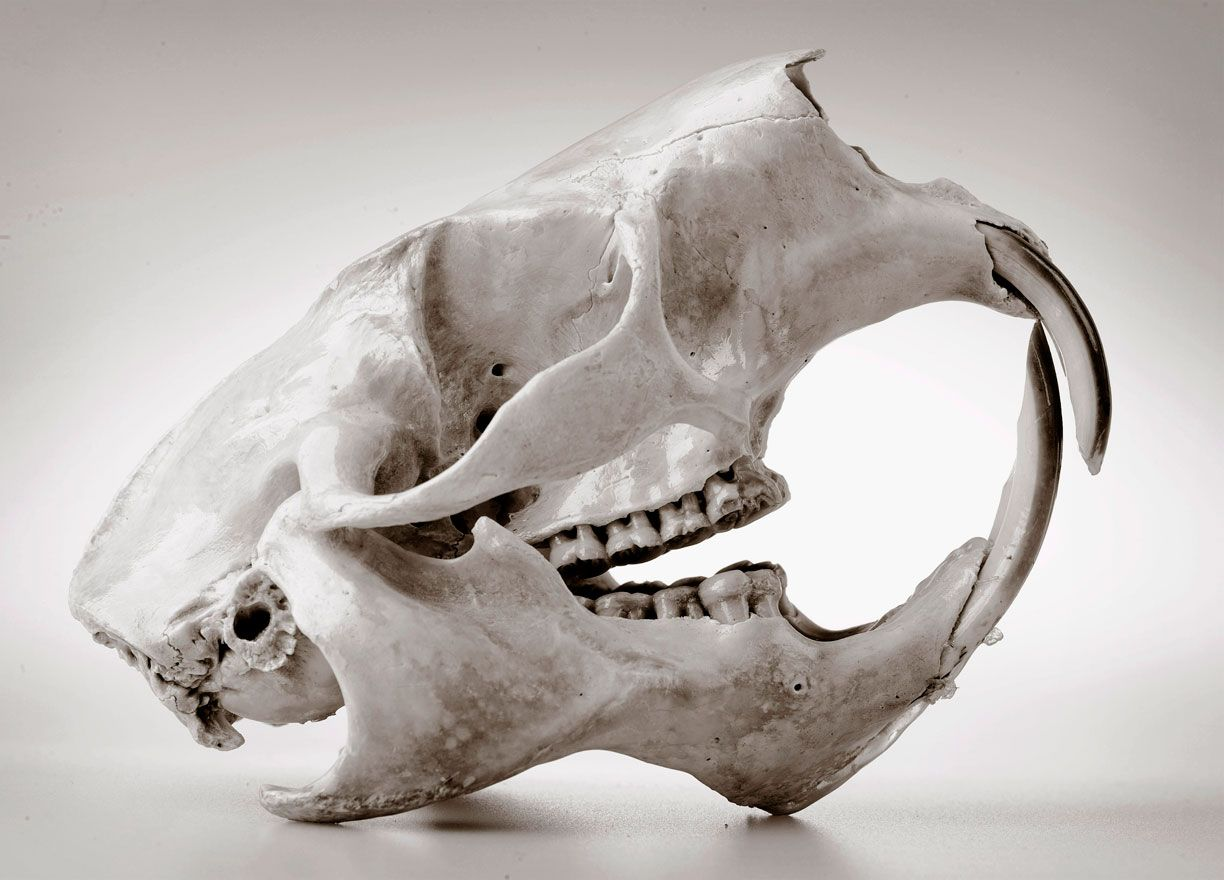 Porcupine Skull | behold: the skull board | Pinterest