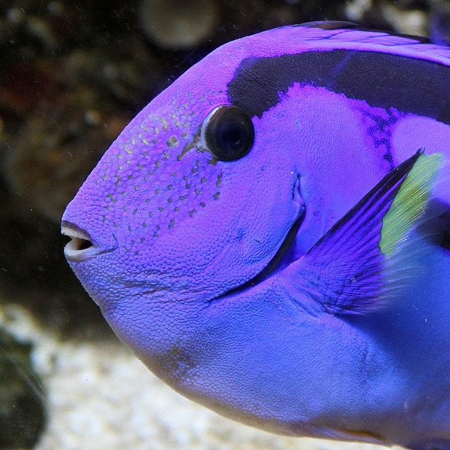 Purple tang aquarium fish freshwater saltwater fish for Purple saltwater fish