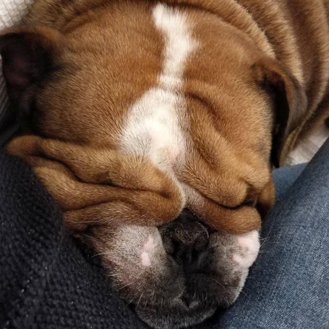 English bulldogs by cheryl in 2020 good night sleep