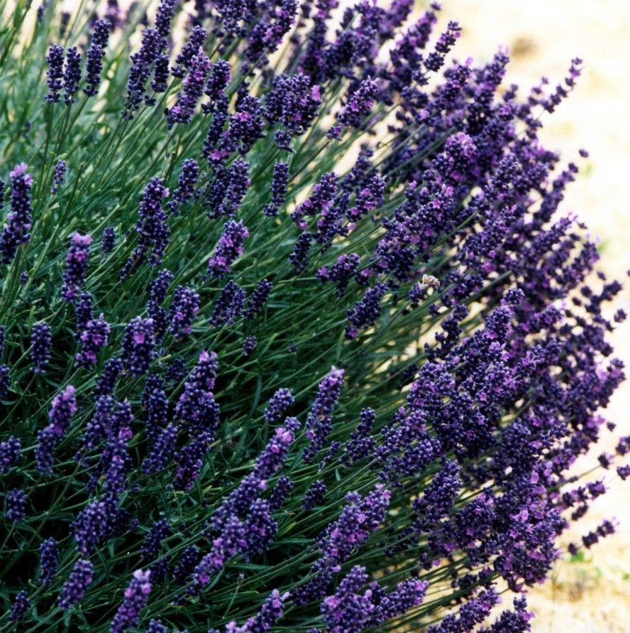 Lavender Foveaux Storm This House Pinterest Plant Catalogs Shaun Barnett Blue New Zealand Geographic Nurseries Thenurseries
