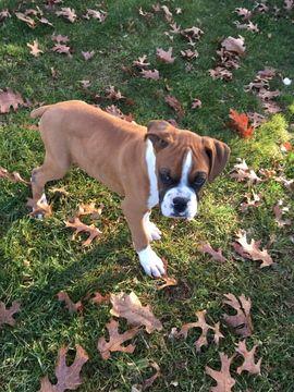 Boxer puppy for sale in HILLSVILLE, VA. ADN55459 on
