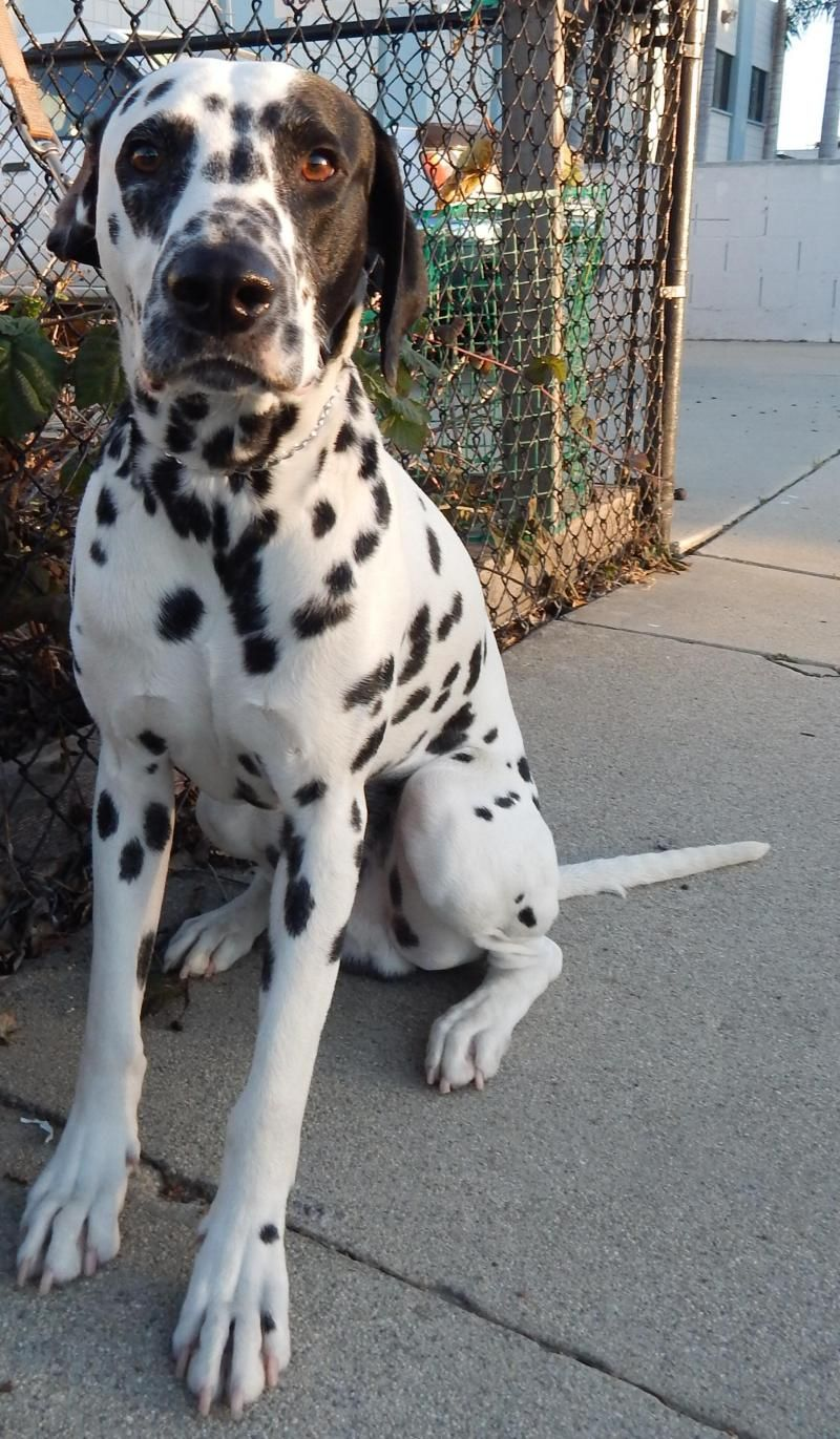 Adopt Rocky On New Beginnings Dalmatian Dogs Dogs Dalmatian