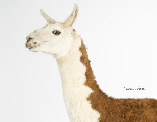 Llama Fine Art Photography for Nursery Decor and wall Decor. Limited Ediion Prints and Open Editions Prints. Baby Animal Pictures. Animal Photography