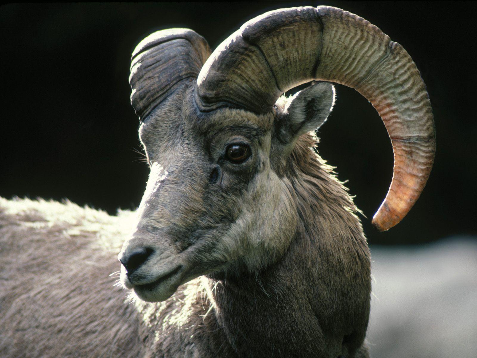 Goat Rocky Mountain Bighorn Sheep Goats Rocky Mountain