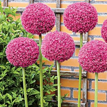 Twinkling Stars Allium It S Been Years In The Making But We Can Finally Share This Stunning Allium With Our Gard Allium Flowers Flower Seeds Allium Giganteum