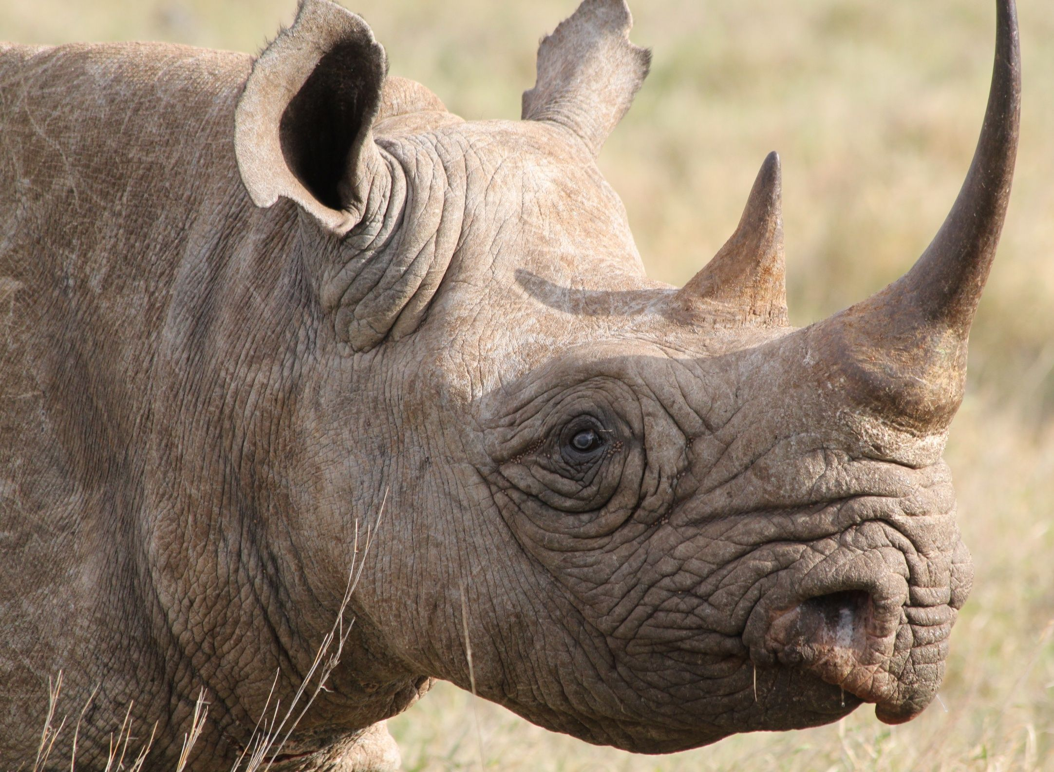 Rhino horns are not made of bone, but of keratin, the same