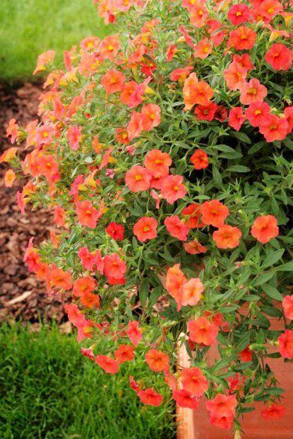 Miniaturowe Petunie Plants Garden Front Yard