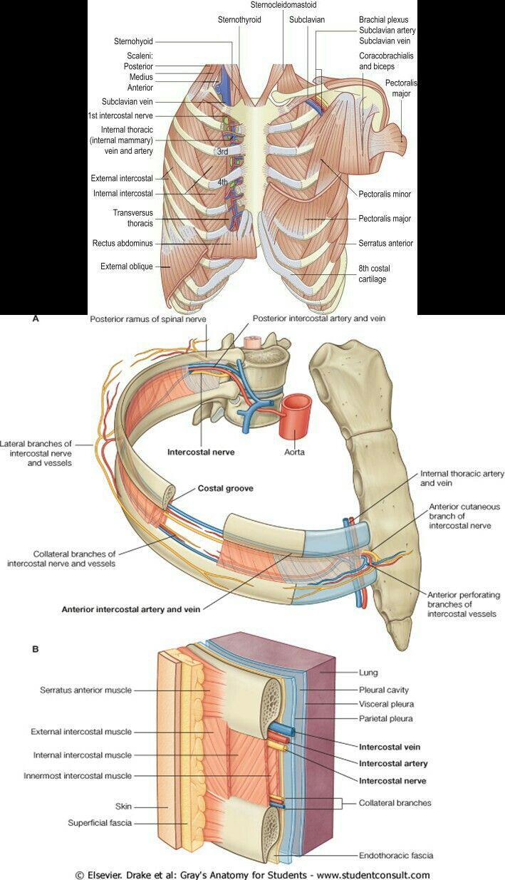 Chest wall | ANATOMY | Pinterest | Anatomy
