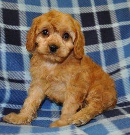 Cavapoo Puppy For Sale Finn Jpg Caes Racas Caes Raca
