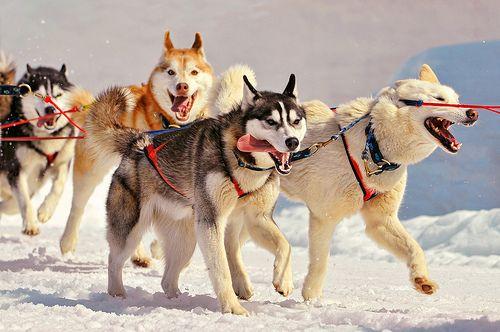 Running Huskies Dog Breeds Dog Sledding Working Dogs