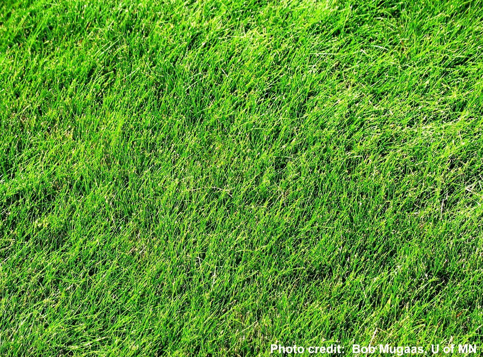 Growing Fine Fescue Grass Rasenpflege Rasenpflege