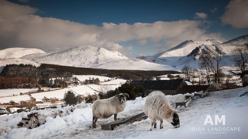 Mourne Mountains Sheep County Down Northern Ireland Photograph By Aidan Monaghan Visit Site Http Amirishlandsc Irish Landscape Ireland Landscape Landscape