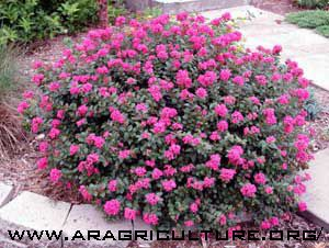 Pin By Jean Bysouth On Gardening Flowering Bushes Colorful Landscaping Dwarf Flowering Shrubs