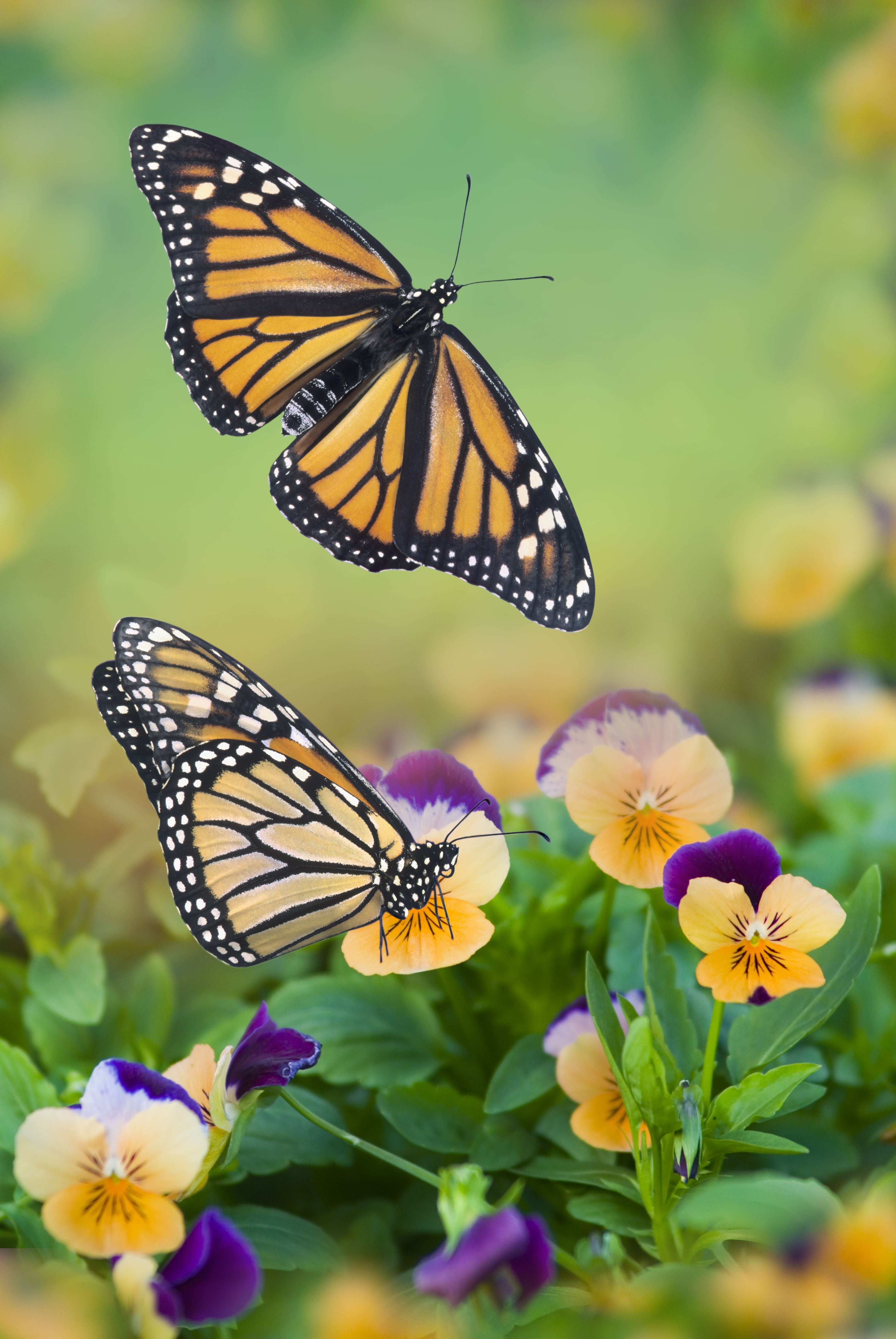 Millions Of Colorful Butterflies Are Migrating Across California