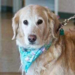 Adopt Isabelle 8 1 2 Yrs Adopted On Golden Retriever Rescue I