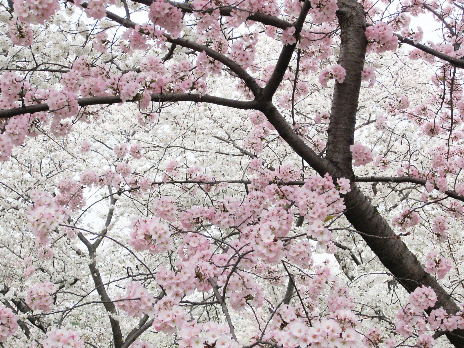 Cherry Blossoms 10 By Zaphotonista Deviantart Com On Deviantart Cherry Blossom Blossom Beautiful Flowers